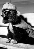 Dog Dressed Up Archival Photo Poster Prints