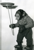 Chimp Monkey Spinning Plate Archival Photo Poster Print Masterprint