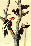 Audubon Ivory-Billed Woodpecker Bird Art Poster Print Prints