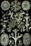 Lichenes Nature Art Print Poster by Ernst Haeckel Masterprint
