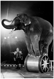 Circus Elephant on Stand Archival Photo Poster Print Posters