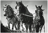 Horses Plowing Farm Archival Photo Poster Print Posters