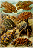 Chelonia Nature Art Print Poster by Ernst Haeckel Posters