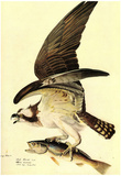 Audubon Osprey Bird Art Poster Print Plakater