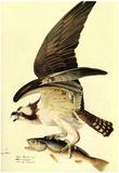 Audubon Osprey Bird Art Poster Print Prints