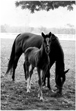 Mare and Foal Archival Photo Poster Prints