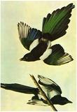 Audubon Mallard Bird Art Poster Print Poster