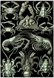 Decapoda Nature Art Print Poster by Ernst Haeckel Plakater