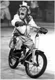 Monkey Riding a Bicycle Archival Photo Poster Posters