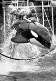 Man Riding Killer Whale 1975 Archival Photo Poster Masterprint