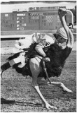 Ostrich Race Archival Photo Poster Prints