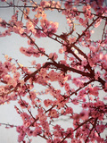 Cherry Blossoms II Print by Susan Bryant