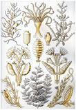 Sertulariae Nature Art Print Poster by Ernst Haeckel Posters