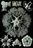 Ophiodea Nature Art Print Poster by Ernst Haeckel Masterprint