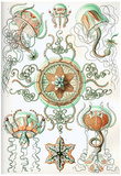 Trachomedusae Nature Art Print Poster by Ernst Haeckel Photo