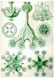 Stauromedusae Nature Art Print Poster by Ernst Haeckel Posters