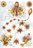 Siphonophores Nature Art Print Poster by Ernst Haeckel Photo