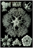 Ophiodea Nature Art Print Poster by Ernst Haeckel Prints