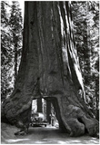 Road through Redwood Tree Archival Photo Poster Posters