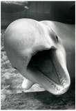 Porpoise Archival Photo Poster Print Posters