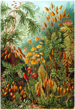 Muscinae Nature Art Print Poster by Ernst Haeckel Print