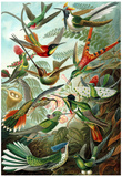 Trochilidae Nature Art Print Poster by Ernst Haeckel Poster