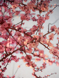Cherry Blossoms I Poster by Susan Bryant