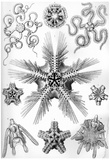Ophiodea Nature Print Poster by Ernst Haeckel Print