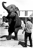 Performing Elephant 1977 Archival Photo Poster Prints