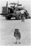 Small Owl on Construction Site 1977 Archival Photo Poster Prints