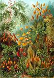 Muscinae Nature Art Print Poster by Ernst Haeckel Masterprint