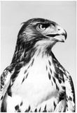 Red-tailed Hawk Archival Photo Poster Print