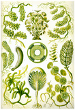 Siphoneae Nature Art Print Poster by Ernst Haeckel Poster