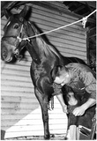 Shoeing a Horse in Florida Archival Photo Poster Prints