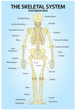 Skeletal System Posterior View Anatomy Print Poster Posters