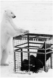 Polar Bear With Photographer 1982 Archival Photo Poster Prints