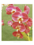 Non-embellished Island Orchid I Premium Giclee Print by Chariklia Zarris