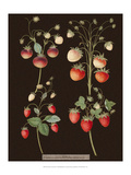Brookshaw Strawberries Prints by George Brookshaw