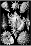 Prosobranchia Nature Art Print Poster by Ernst Haeckel Photo