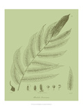 Fresh Ferns III Giclee Print by Samuel Curtis