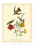 John James Audubon - Mango Hummingbird Umělecké plakáty