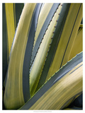 Variegated Agave II Poster by Rachel Perry