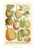 Plentiful Pears II Plakater af Johann Wilhelm Weinmann