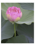 Blushing Lotus II Print by Jim Christensen