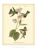 John James Audubon - Anna Hummingbird Plakát