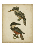 Vintage Kingfishers II Affiches