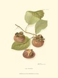 Persimmon II Prints