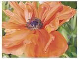 Fading Poppy Premium Giclee Print by Bethany Winslow