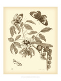 Nature Study in Sepia II Prints by Maria Sibylla Merian
