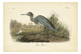 Audubon's Blue Heron Art by John James Audubon